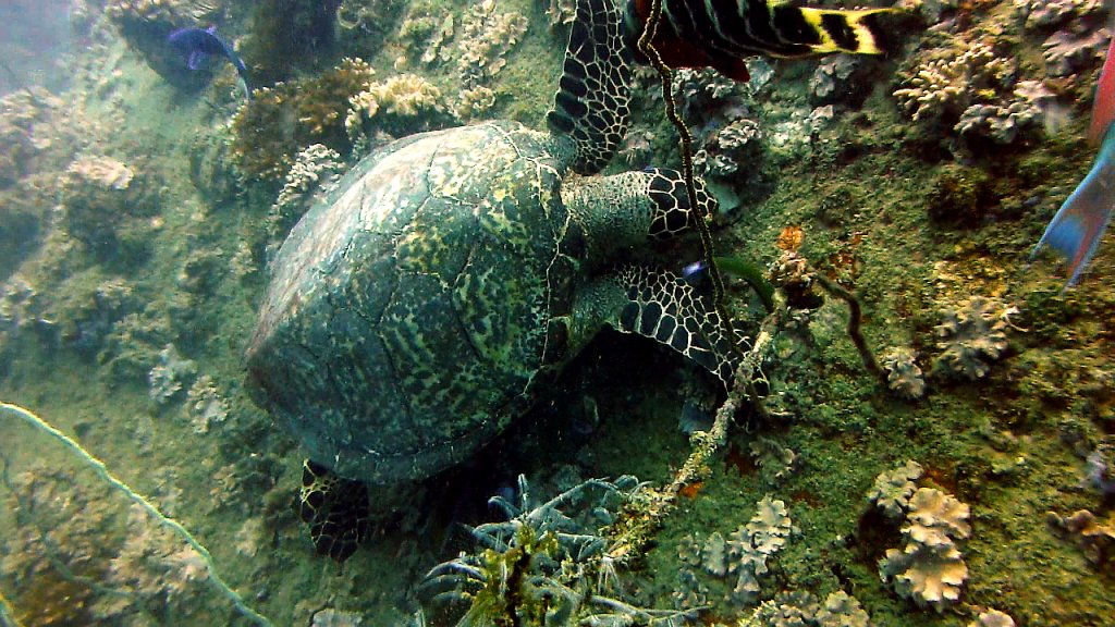 Koh Tao Schildkröte